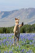 Wild mustang foal in summer wildflowers in Montana