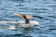 Humpback whale (Megaptera novaeangliae) near St. Anthony, Newfoundland, Canada