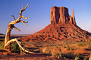 A twisted juniper tree frames Left Mitten at sunset, Monument Valley Tribal Park, Arizona.