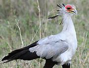 A secretary bird (Sagittarius serpentarius) walks through dry grass looking for its prey of a variety of small animals. Serengeti National Park, Tanzania.