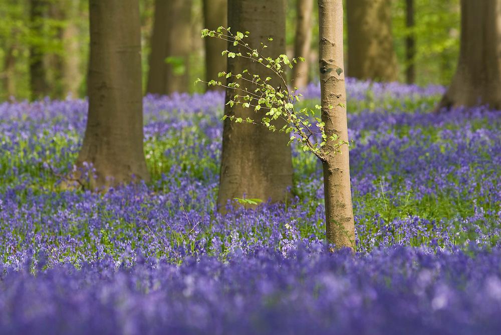 Bluebells Hyacinthoides non-scripta carpet in Hallerbos mixed forest, Belgium