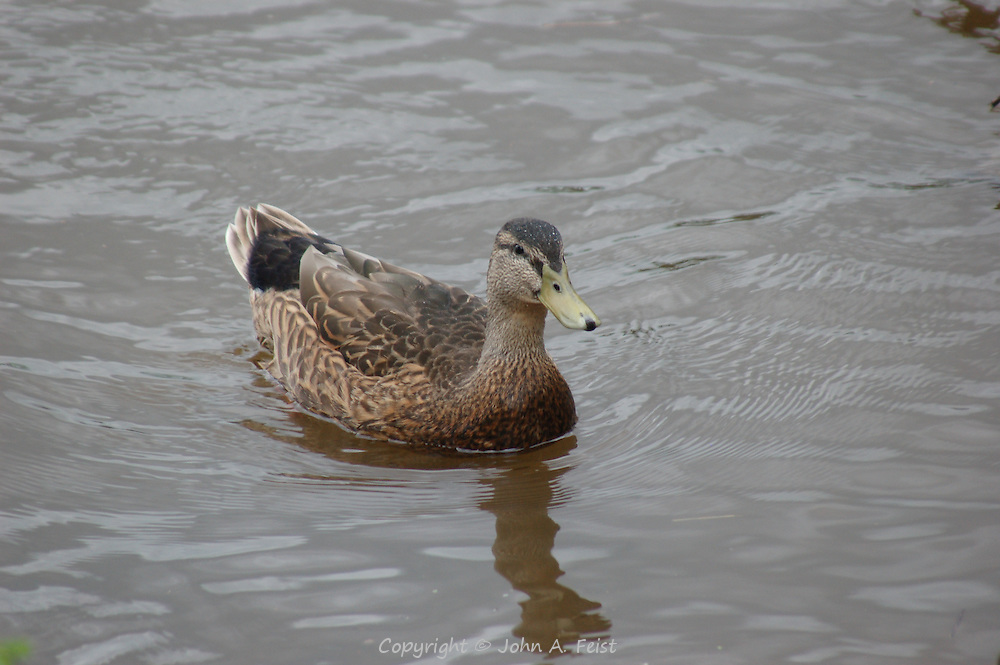 A duck on the Delaware River in Lambertville, NJ