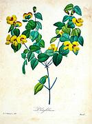 19th-century hand painted Engraving illustration of a Platylobium flower, by Pierre-Joseph Redoute. Published in Choix Des Plus Belles Fleurs, Paris (1827). by Redouté, Pierre Joseph, 1759-1840.; Chapuis, Jean Baptiste.; Ernest Panckoucke.; Langois, Dr.; Bessin, R.; Victor, fl. ca. 1820-1850.