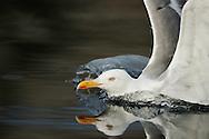 Herring gull, Larus argentatus, .Flatanger, Norway. August 2008.