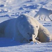 Polar Bear, (Ursus maritimus) Adult and arctic fox. Symbiotic relationship. Churchill, Manitoba. Canada.