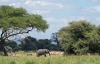 African Elephant, Loxodonta africana, walks past a mixed herd of zebras and wildebeest in Tarangire National Park, Tanzania