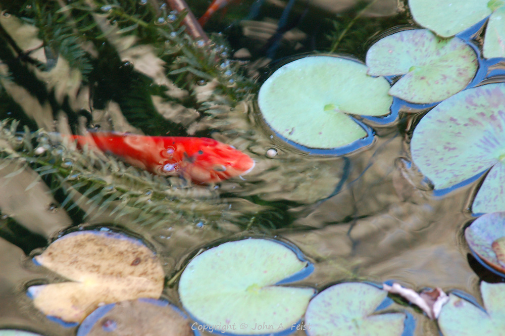 One of the carp in our friends' pond in Flagtown, NJ.  Some of his dinner is hiding among the lilies.  This picture is all natural lighting, no touchups.