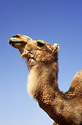 Portrait of a Dromedary or Arabian Camel (Camelus dromedarius) with a blue sky background. Photographed in the Negev Desert, Israel