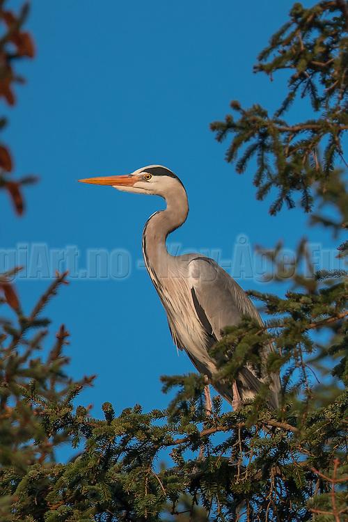 Grey Heron in top of tree | Gråhegre i toppen av et tre