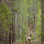 Elk, (Cervus elaphus) cow with spring calf walking through dark lodgepole pine forest. Early summer.