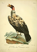 Le Roi des Vautours [King of Vultures] from the Book Histoire naturelle des oiseaux d'Afrique [Natural History of birds of Africa] by Le Vaillant, François, 1753-1824; Publish in Paris by Chez J.J. Fuchs, libraire .1799