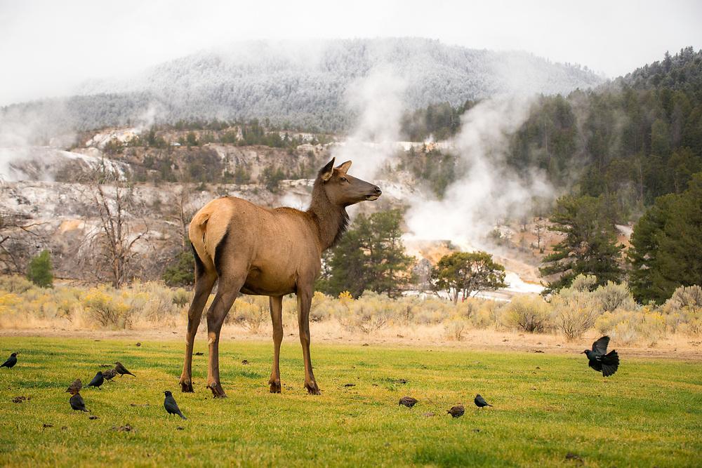Female elk in Mammoth Hot Springs, Yellowstone National Park, Wyoming
