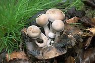 powdery piggyback<br /> Asterophora lycoperdiodes