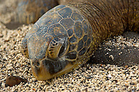 Hawaiian Green Turtle at Keoneele Cove, Pu?uhonua o Honaunau National Historic Park. Image taken with D2xs and 80-400 mm VR lens (ISO 400, 220 mm, f/5.6, 1/640 sec)..
