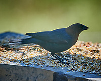 Male Brown-headed Cowbird feeding. Image taken with a Nikon D5 camera and 600 mm f/4 VR lens (ISO 640, 600 mm, f/5.6, 1/1250 sec).