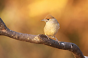 female blackcap (Sylvia atricapilla) perched on a branch Shot in Israel in November