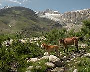 Horses. in the Hindukush mountains.