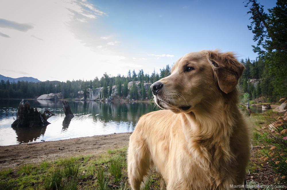 Dog (golden retriever) at Upper Kinney Lake, Toiyabe National Forest, California
