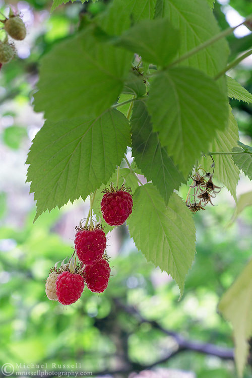Raspberry fruits almost ripe on the vine in a Fraser Valley garden.