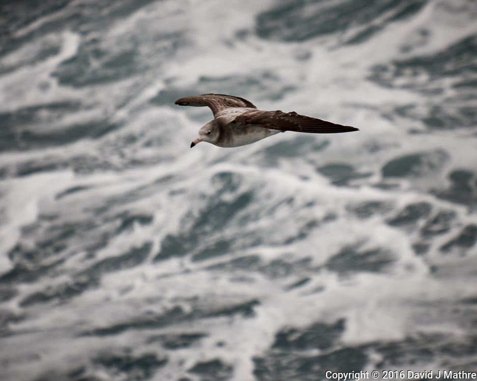 Black-tailed Gull viewed from the deck of the MV World Odyssey. Image taken with a Fuji X-T1 camera and 55-200 mm lens (ISO 400, 200 mm, f/4.8, 1/1000 sec).