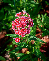Sweet William. Image taken with a Nikon D810a camera and 105 mm f/1.4 lens