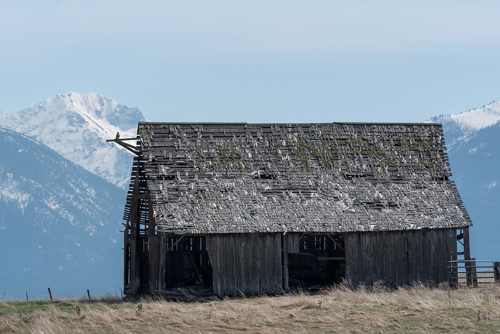 Hawk on a barn below the Wallowa Mountains, Oregon.