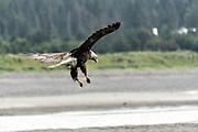 An adult bald eagle lands on the beach at Anchor Point, Alaska.