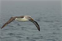 Grey-headed Albatross (Thalassarche chrysostoma) in flight<br />Elsehul, South Georgia