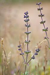 Wild Clary, Wild Sage. Salvia verbenaca