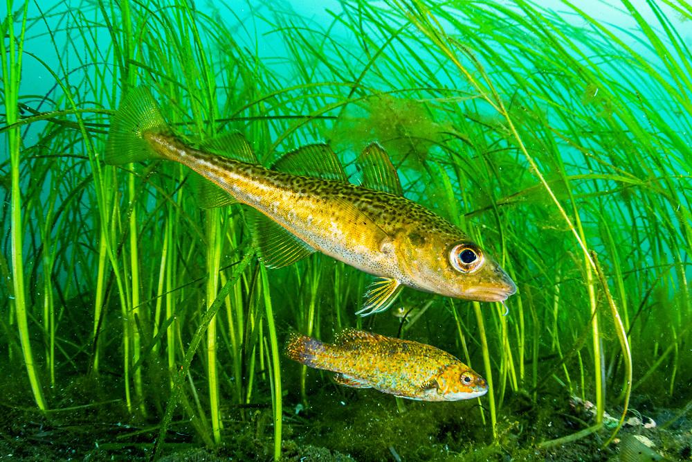 Atlantic cod (Gadus morhua) juvenile, hiding in eelgrass (Zostera marina) with cunner (Tautogolabrus adspersus) off Newfoundland, Canada