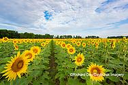 63801-11108 Sunflowers in field Jasper Co.  IL