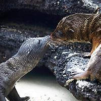 South America, Ecuador, Galapagos Islands. Baby Sea Lions touch noses on Sombrero Chino island.