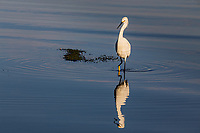 Snowy Egrets (Egretta thula) A white 24 inch bird with a black bill, black legs with bright yellow feet.
