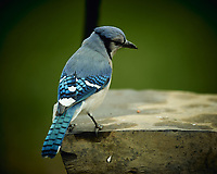 Blue Jay. Image taken with a Nikon D4 camera and 600 mm f/4 VR lens (ISO 320, 600 mm, f/4, 1/400 sec).