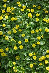 Ranunculus ficaria Flore Pleno. Lesser Celandine