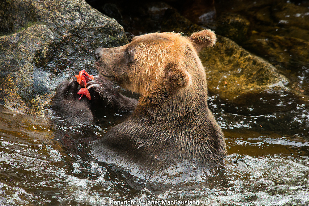 A Brown Bear is eating his catch of Pink Salmon in the Tongass National Forest, Alaska, USA. Notice his impressive claws.