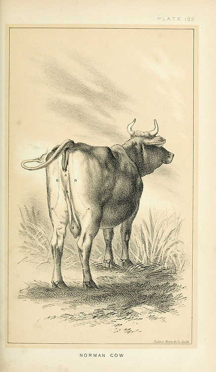 Norman Cow from Cattle and dairy farming. Published 1887 by Govt. Print. Off. in Washington. United States. Bureau of Foreign Commerce (1854-1903)