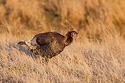 Merriam's Turkey hen during spring in Wyoming