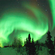 Northern Lights, Aurora Borealis, shine brightly over the black spruce tree in Wapusk National Park in temperatures of -46F. February. Canada