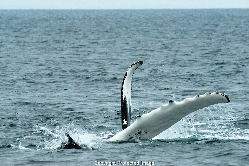 A humpback whale is flippering. a dolphin darts about, playing in the splash.