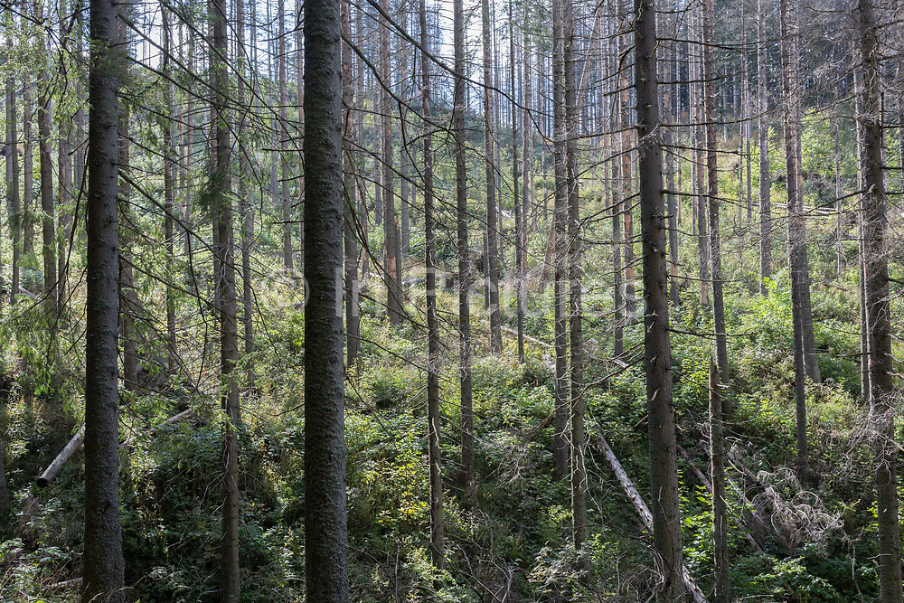 A diseased forest landscape and the Slovakian border in the distance where spruce trees have been badly affected by the European spruce beetle, in Dolina Mietusia, a hiking route in the Polish Tatra National Park, on 18th September 2019, in Dolina Mietusia, near Zakopane, Malopolska, Poland. The European spruce beetle Ips typographus is one of 116 bark beetles species in Poland which is killing thousands of spruces. The insects population can grow rapidly via wind and snow etc. which eventually leaves a gap in the landscape, thereby changing the forest floors ecology.