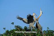00684-02917 Great Blue Heron (Ardea herodias) arriving at nest, mate skypointing   FL
