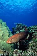 tiger grouper, Mycteroperca tigris, Little Cayman Island, Cayman Islands, British West Indies ( Caribbean Sea )
