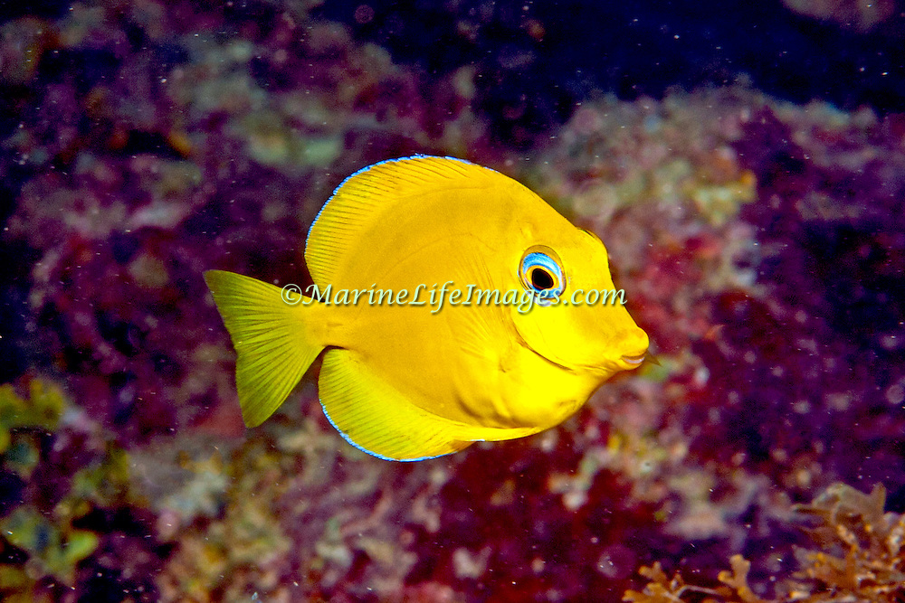Blue Tang juveniles are entirely yellow except blue edge on dorsal and anal fins; picture taken Panama.
