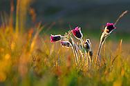 France, Languedoc Roussillon, Lozère (48), Cevennes, fleur de Pulsatille vulgaire, N.L.: Pulsatilla vulgaris,  (Renonculacées), toxique