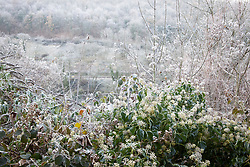 Old Man's Beard (Travellers Joy) and Ivy flowers on a frosty winter's morning. Clematis vitalba and Hedera helix