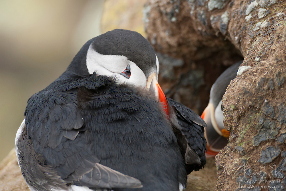 An Atlantic puffin (Fratercula arctica) rests outside its burrow on the Látrabjarg bird cliff in Iceland while its mate sits just inside. Látrabjarg is Europe's largest bird cliff, 14 km (8.7 miles) long and up to 440 meters (1444 feet) above the Atlantic Ocean.