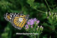 03536-01711 Monarch butterfly (Danaus plexippus) tagged on Crucita Mistflower (Eupatorium odoratum), Santa Ana National Wildlife Refuge, Hidalgo Co. TX