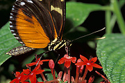 Heliconius hecalesia Butterfly, feeding on flower, probiscus, tongue, nectar