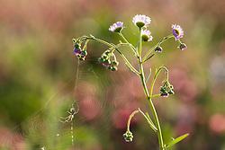 Spider on web against field of purple paintbrush (Castilleja purpurea) wildflowers in field near the Red River, Denison, Texas, USA.